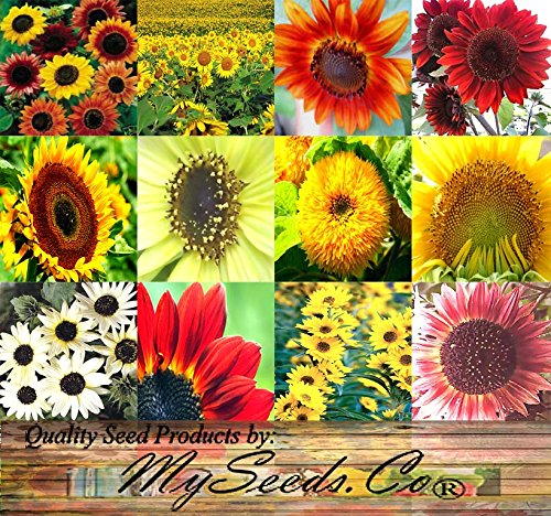 Big Pack - Sunflower Sunny Sun Flower Crazy Mix 1000 Flower Seeds - Non-gmo Seeds By Myseedsco