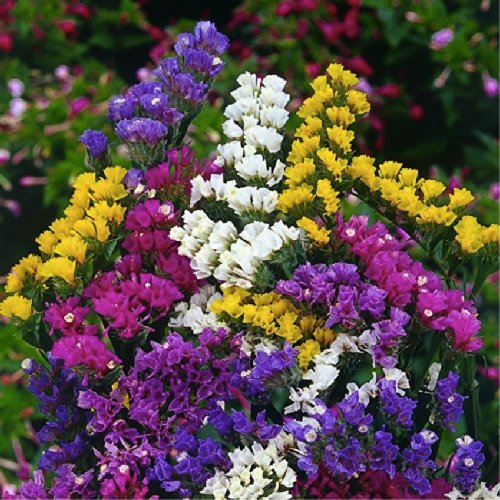 Staticesea Lavender pacific limonium Sinuatum l Flower Plant Seeds Annual Heirloom