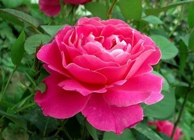 AGROBITS 100 Rose bonsaisPackFour Seasons Sowing The bonsais of Perennial Flowers Rose Flowers bonsais Easy to Plant A7