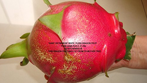 2 &quotgiant Vietnamese&quot White Dragon Fruit Weight Average 2-2 12 Lb Fruit Cutting Plant Easy Growjuicy  Hybrid