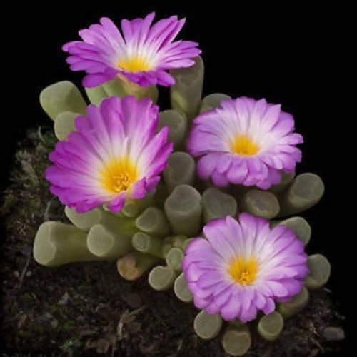 Frithia Pulchra Sold By Exotic Cactus Living Stone Cactus Cacti Exotic Rare Succulents Seed 30 Seeds Package