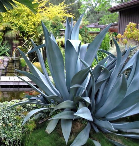 Agave Salmiana Rare Succulent Pulque Century Plant Exotic Garden Seed 100 Seeds