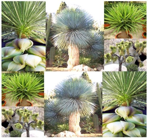 15 x Yucca species mix Seed Seeds - Species include Yucca baccata brevifolia angustifolia torreyi whipplei glauca elata and others - EXCELLENT CACTUS SUCCULENT HOUSEPLANTS FOR INDOOR