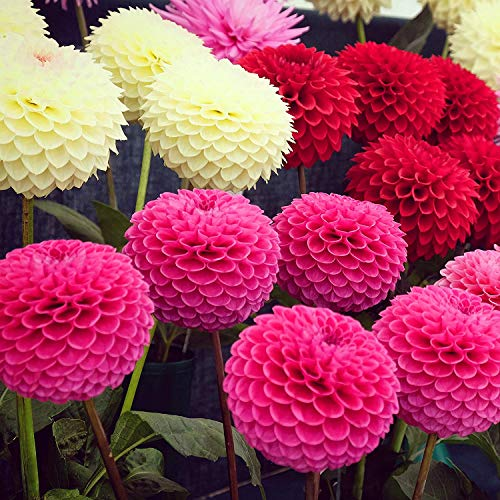Dahlia Pompon Flower Seed - 500 SeedsDahlia Flower Easy to Grow Planting in Winter Or Early Spring Perennial