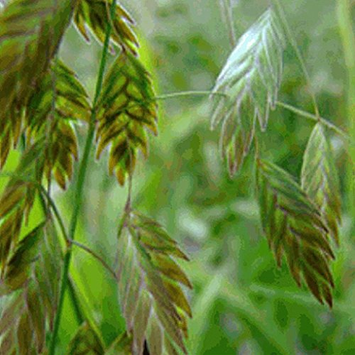 Everwilde Farms - 200 River Oats Native Grass Seeds - Gold Vault Jumbo Seed Packet