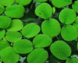 Giant Duckweed pond plant 14 cup